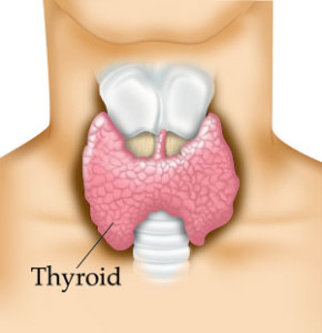 The thyroid gland is situated just below the Adam's apple